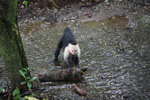 White-headed capuchin monkey tearing open an ant nest [colombia_3002]