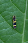 Yellow and black leafhopper [colombia_3133]