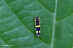 Yellow and black leafhopper [colombia_3137]