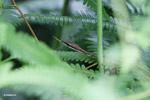 Brown Vine Snake [colombia_3142]