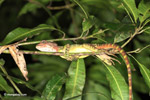 Red-headed jesus christ lizard sleeping in a tree