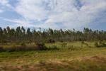Eucalyptus plantation [colombia_3173]
