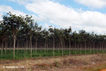 Young trees in Latin America's largest rubber plantation