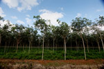 Young rubber trees in Latin America's largest rubber plantation [colombia_3200]