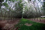 Industrial rubber plantation in Colombia