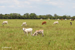 Cattle in the llanos of Colombia [colombia_3253]
