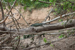 Iguana sunning on a tree overhanging a river