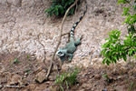 Green iguana on a river bank [colombia_3305]