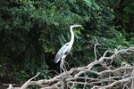 Cocoi Heron (Ardea cocoi) [colombia_3319]