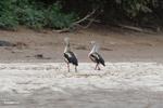 Pair of Orinoco geese