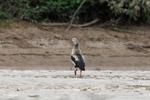 Orinoco goose [colombia_3337]