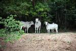 Colombian cattle