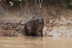 Capybara along a river