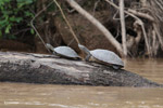 River turtles [colombia_3350]