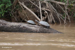 River turtles [colombia_3351]