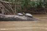 River turtles [colombia_3352]