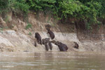 Group of capybara on a river bank [colombia_3358]