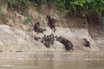 Group of capybara on a river bank [colombia_3361]