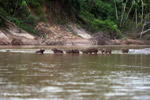 Capybaras in a river [colombia_3424]