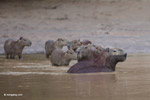 Capybaras in a river [colombia_3429]