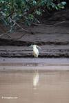 Capped Heron (Pilherodius pileatus) [colombia_3494]