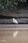 Capped Heron (Pilherodius pileatus) [colombia_3496]