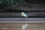 Capped Heron (Pilherodius pileatus) [colombia_3497]