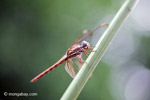 Red-pink dragonfly [colombia_3561]