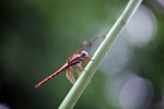 Red-pink dragonfly [colombia_3564]
