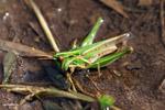 Green grasshopper [colombia_3612]