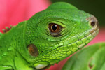 Young green iguana - headshot