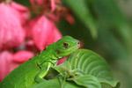 Close-up of a green iguana