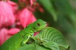 Headshot of a green iguana