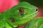 Profile of a green iguana [colombia_3617]