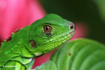 Close-up of a common green iguana [colombia_3618]