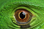 Close-up of a green iguana (Iguana iguana)