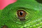 Headshot of a green iguana (Iguana iguana)