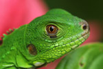 Profile of a green iguana (Iguana iguana)