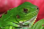 Headshot of a common green iguana (Iguana iguana) [colombia_3625]