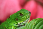 Young green iguana [colombia_3627]