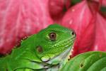 Young green iguana (Iguana iguana)