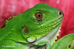 Young common green iguana (Iguana iguana)