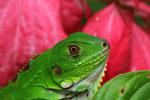 Young green iguana (Iguana iguana) [colombia_3641]