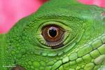 Iguana (Iguana iguana), up close and personal