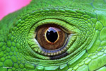 Common green iguana (Iguana iguana), up close and personal