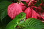 Headshot of a common green iguana