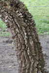 Rough bark