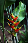 Heliconia [colombia_3675]