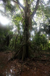 Strangler fig wrapped around the trunk of a tree