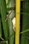 Treefrog [colombia_3714]